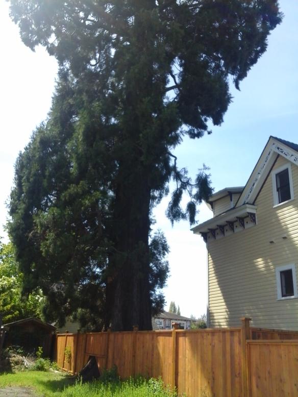 Albert Street giant sequoia 3